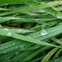 Умылась  каждая травинка... :: Нина Корешкова
