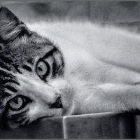 Портрет по заказу4-из серии кошки очарование моё! :: Shmual Hava Retro