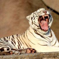 белый тигр :: Alexandr Gold