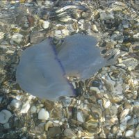 Голубая медуза :: Нина Корешкова