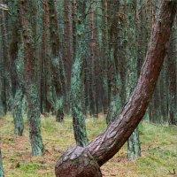 """Дерево """"Танцующего"""" леса. :: Валерия Комова"""