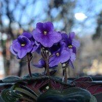 фиалки - чуткие цветы :: Svetlana AS
