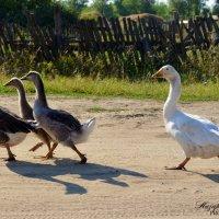 И дорогу гуси переходят важно... :: Юлия Назаренко