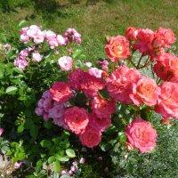 розы Angela и Midsummer :: lenrouz