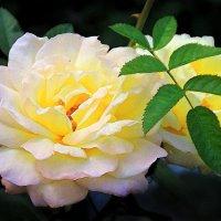 белая роза :: Лидия Юсупова