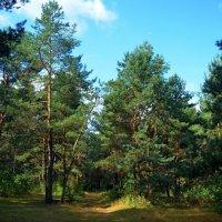 сосновый лес :: Ростислав