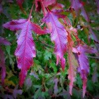 Рубиновая  осень. :: Мила Бовкун