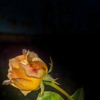 Роза :: Игорь Хохлов