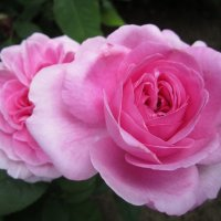 роза Gertrude Jekyll :: lenrouz