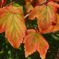 листья смородины :: Николай Сапегин