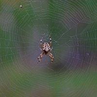паук :: Виталий Городниченко