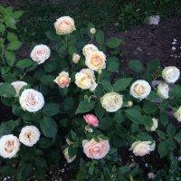 куст розы Jalitah :: lenrouz