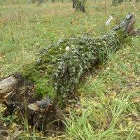 Поваленное дерево :: Анатолий