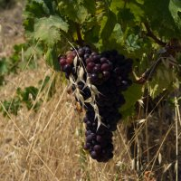 Виноград :: Андрей Гришанов