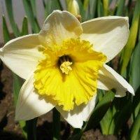 цветок весны :: Александр Гребенщиков