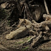 одинокий волк :: Владимир Родин