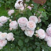 роза James Galway :: lenrouz