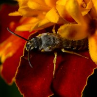 пчела :: Денис Сидельников
