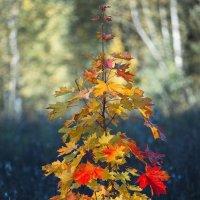 Осенний красавец :: Nikita Volkov
