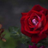 Сентябрьская роза :: Евгений Челноков