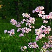 Яблоня цветущая :: Полина
