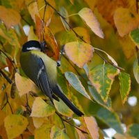 Осень,  синицы  созрели :: Геннадий С.