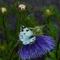 Бабочка на астре :: Таня Фиалка
