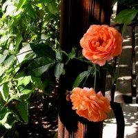 Болгарские розы :: Елена Даньшина