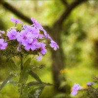 Про флоксы в осени саду..... :: Елена Kазак