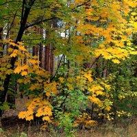 Сгорает осень в листьях клёна... :: Лесо-Вед (Баранов)