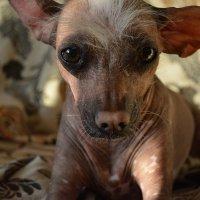My dog - Terpsihora :: Елизавета Кудашева