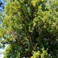 Тюльпановое дерево :: Владимир Болдырев