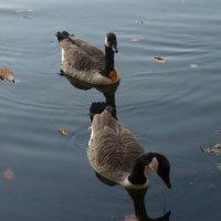 ...два канадских гуси... :: Владимир Секерко
