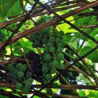 Амурский виноград :: Светлана SvetNika17
