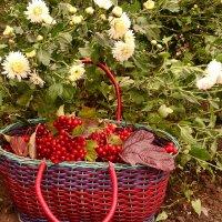 Вот и собран урожай калины красной :: galina tihonova