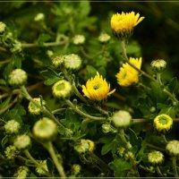 Хризантемы октября :: galina tihonova