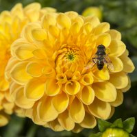 Пчела на желтом георгине :: Sergey Lebedev