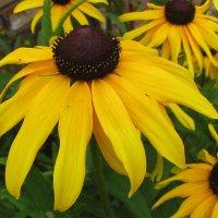 Осеннее украшение сада - простая рудбекия  lotos  5 :: Valentina Lujbimova [lotos 5]