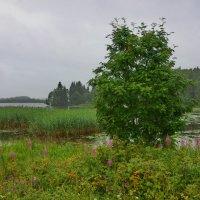 У Шексны - реки :: Валерий Талашов