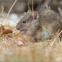 Мышка-норушка :: Анна Солисия Голубева