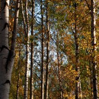 Лесные вертикали. :: Лазарева Оксана