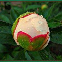 рождение цветка пиона :: Надежда