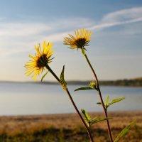 Солнечные цветы. :: Ирина Нафаня