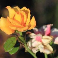 Роза :: Viktor Eremenko