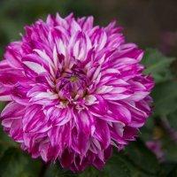 Я грущу о тебе, уходящее лето Забираешь с собой ароматы цветов, « Георгин остаётся » - тихо шепчет :: Андрей Нибылица