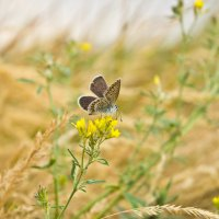 Бабочка :: Сергей Гибков