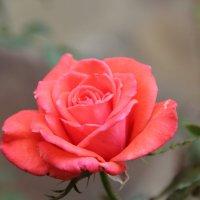 Розовая роза :: Наталья Воронцова