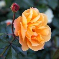 Лишь ты одна, царица роза, Благоуханна и пышна. (Фет А. А.) :: Надежда Млат