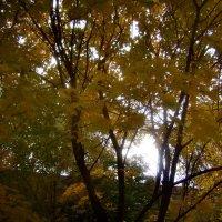 Свет, прорвавшийся сквозь листву клёна. :: Tarka