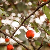 золотые яблочки :: Irina Kovaleva
